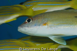 Yellow Snapper by Louwrens De Lange