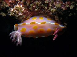 Ceratosoma amoena, Bare Island by Doug Anderson