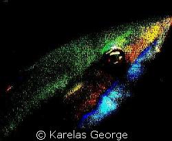 Coris Julis by Karelas George
