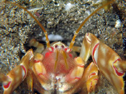 Deep-burrowing Thalassinidean shrimp, commonly called mud... by Brian Mayes