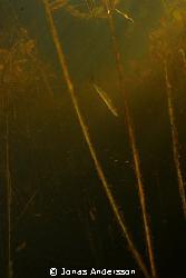stalking pike by Jonas Andersson