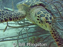 Turtle close up by Bill Pfingston