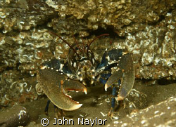lobster.not one to shake hands with. by John Naylor