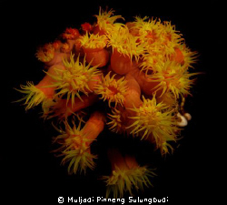 Flowers for you nite dive @ Wakatobi by Muljadi Pinneng Sulungbudi