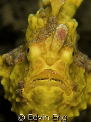 Frowning Froggie! Taken in Lembeh with Canon G9. by Edvin Eng