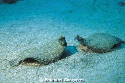 Bothus podas maderensis (Wide-eyed flounder), Azores (Por... by Emanuel Gonçalves