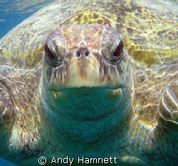 Turtle at the house reef in Safaga. She weighed a good 30... by Andy Hamnett