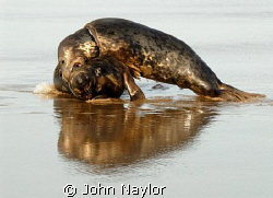 Grey seals playing. by John Naylor