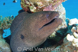 Giant moray taken with Olympus SP350. by Anel Van Veelen