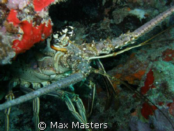 This is a carribean spiny lobster peaking around a piece ... by Max Masters