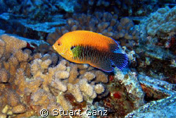 The Potters Angelfish is shy and hard to photograph. Here... by Stuart Ganz
