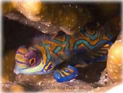 Mandarin Fish at Mabul Island, Borneo Malaysia. Taken wit... by Kay Burn Lim