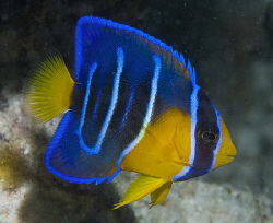 I found this little beauty - a juvenile Queen Angelfish -... by Jim Chambers