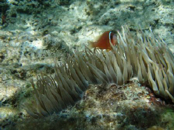 anemone fish swimming on a local harbour reef nuku'alofa ... by Trevor Byett