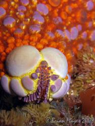 Firebrick Starfish (Asterodiscus truncatus)<><><><>Canon ... by Brian Mayes