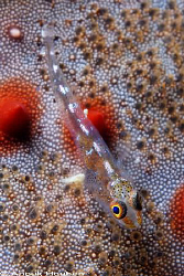 Tiny goby on a cushion star. Picture taken on the second ... by Anouk Houben