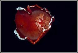 Spanish Heart, 100 mm macro, Marsa Alam 2008 by Dejan Sarman