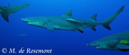 """Lemon sharks """"in line"""". D50/12-24mm (borabora) by Moeava De Rosemont"""