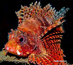 Mombasa lionfish. Lembeh. Nikon D200. by Leigh Chapman