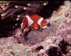 crown fish and eggs.Ken-Ting,Tailwan.F100,60mm,f22,1/125,... by Allen Lee