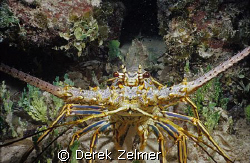 Spiny lobster. Graham's Harbor, San Salvador Island. by Derek Zelmer