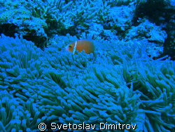 cloun fish in the anemony by Svetoslav Dimitrov