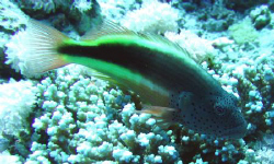 Fish perching on coral by Adrian Newell