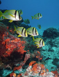 Hurry, Hurry, the Porkfish at my favorite site off Cozume... by Steven Anderson