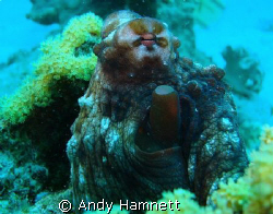 Octopus at Shaab Sheer, Safaga. Sony DSC W90 with MPK WB... by Andy Hamnett