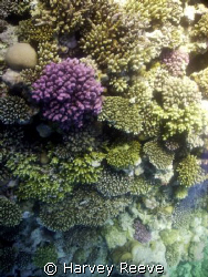 coral pinicle by Harvey Reeve