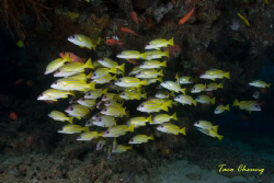 School of Snapper by Taco Cheung