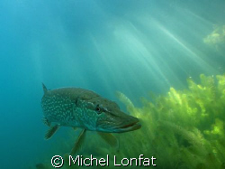 """Head to Head with this magnificiant and very big """"Brochet... by Michel Lonfat"""