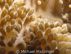 Sun anenome shrimp living on a sun anemone at the Corinth... by Michael Matzinger