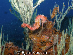 Seahors on a Black coral tree. Phylum: Chordata Subphyl... by Bjorn Goosen