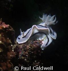 Chromodoris willani, Anilao, Philippines by Paul Caldwell