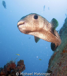 Porcupine fish above the Corinthian in St. Kitts by Michael Matzinger