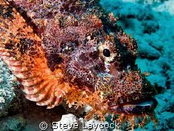 Scorpion fish by Steve Laycock