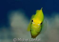 """A Yellow """"Demoiselle"""" in the Red Sea... by Michel Lonfat"""