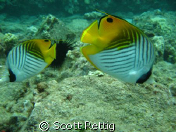 Cute Threadfin couple ! Followed us for half the dive. Maui by Scott Rettig