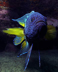 Eastern Blue Devilfish, Clovelly by Doug Anderson