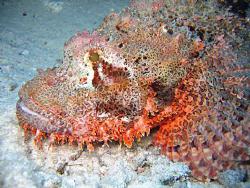 Scorpion Fish by Adrian Newell