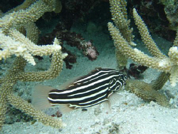 Black and white stripe fish on local beach reef tongatapu... by Trevor Byett
