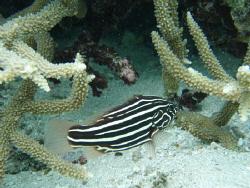 Black and white stripe fish on local beach reef tongatapu... by Trevor Byett