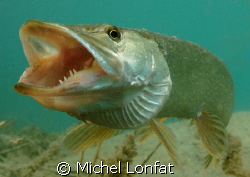 A beautiful Pike Fish with his big mouth big open... Impr... by Michel Lonfat