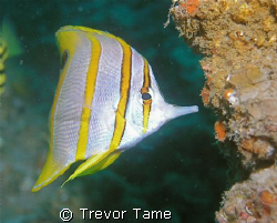 Butterfly Fish at Curtain Artificial Reef off Morton Isla... by Trevor Tame