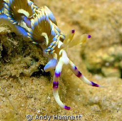 Pteraeolidia ianthina doing the rounds.  by Andy Hamnett
