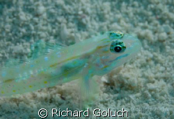 Gobi in Belize waters by Richard Goluch