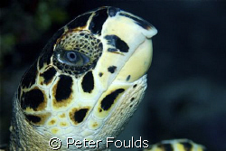 Hawksbill Turtle, East End, Grand Caymans. Nikon D 200 60... by Peter Foulds