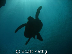 Honu at Sharks Cove, North Shore Oahu by Scott Rettig