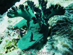 Nembrotha milleri, Anilao, Philippines by Paul Caldwell